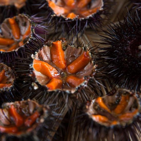 Oursin de Galice (ouvert sur plateau)
