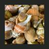 Bulot cuits (sur plateau)